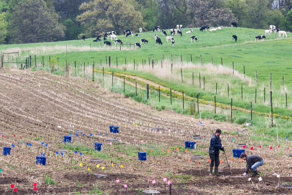 Researchers marking a field with cows in the background.